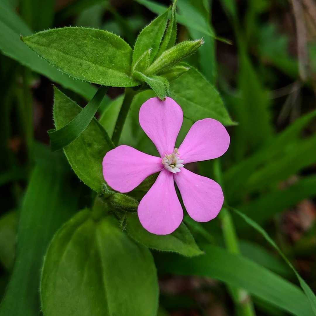North African Catchfly or Mountain Carnation (<em>Silene pseudoatocion</em>)