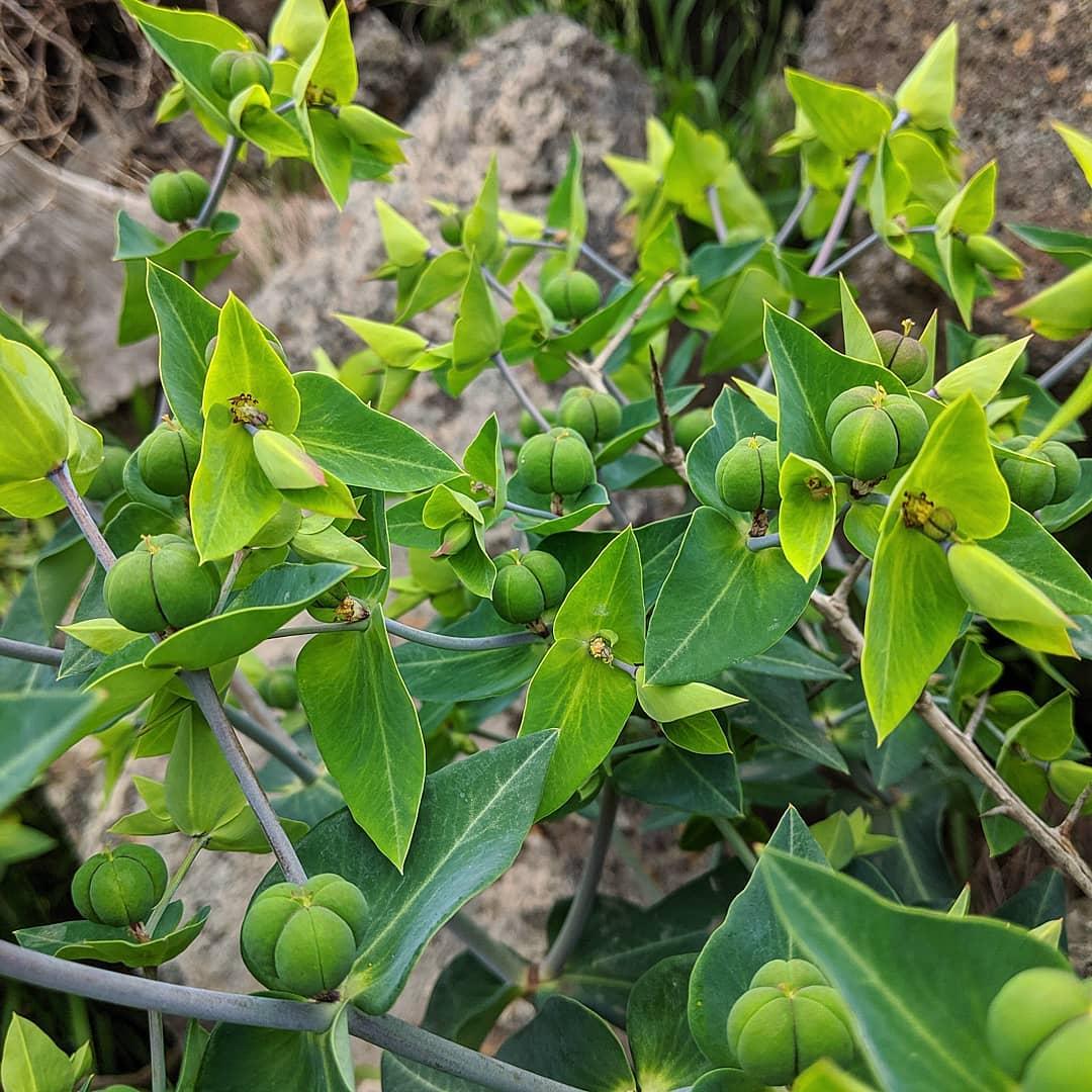 Caper Spurge (<em>Euphorbia lathyris</em>)
