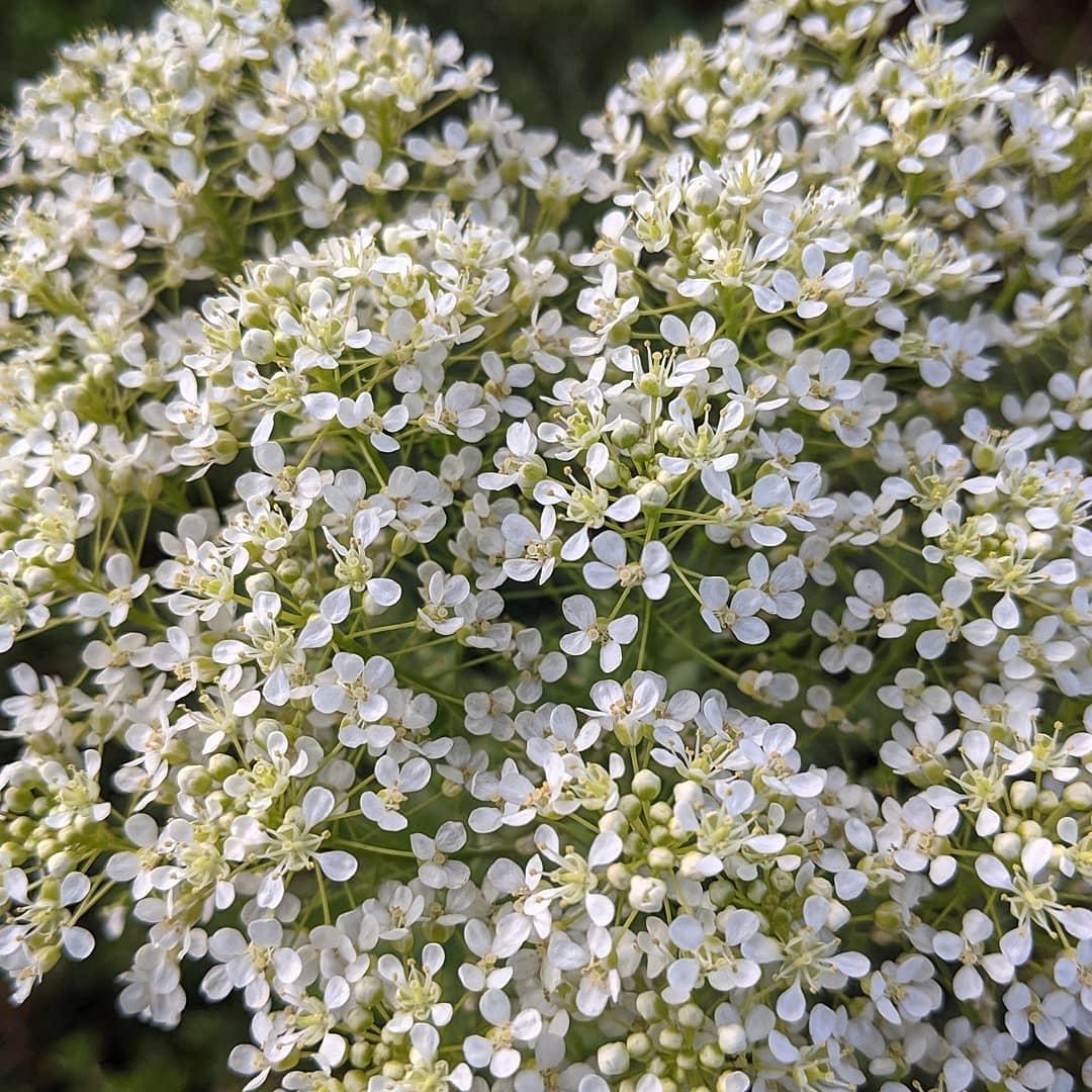 Hoary Cress (<em>Lepidium draba</em>)