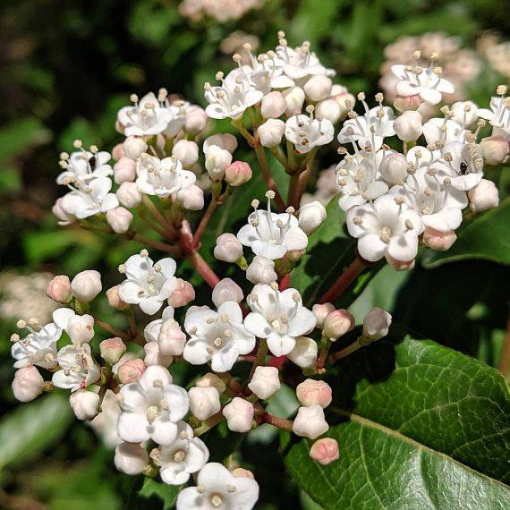Laurestinus/Laurustinus (<em>Viburnum tinus</em>)