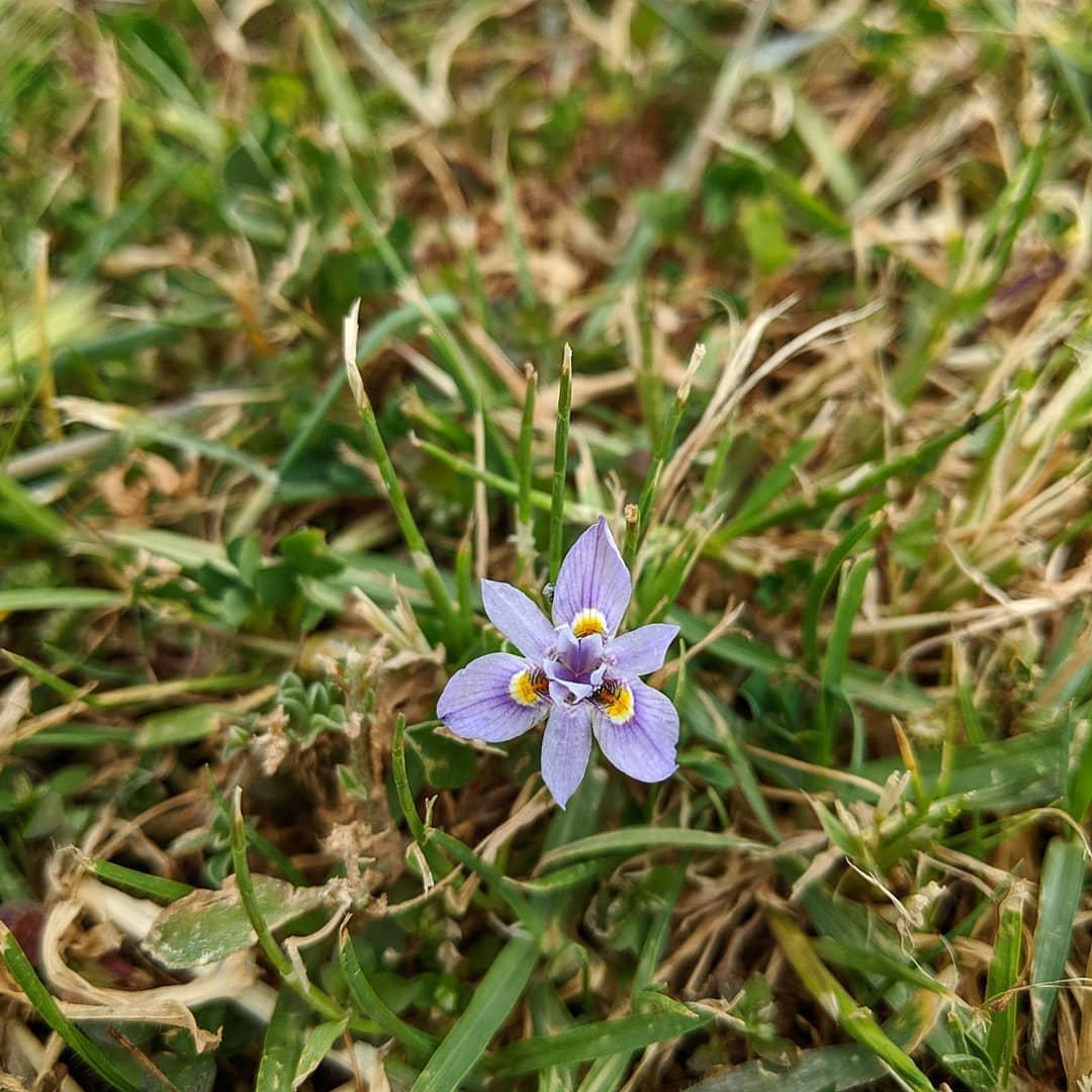 Thread Iris (<em>Moraea setifolia</em>)