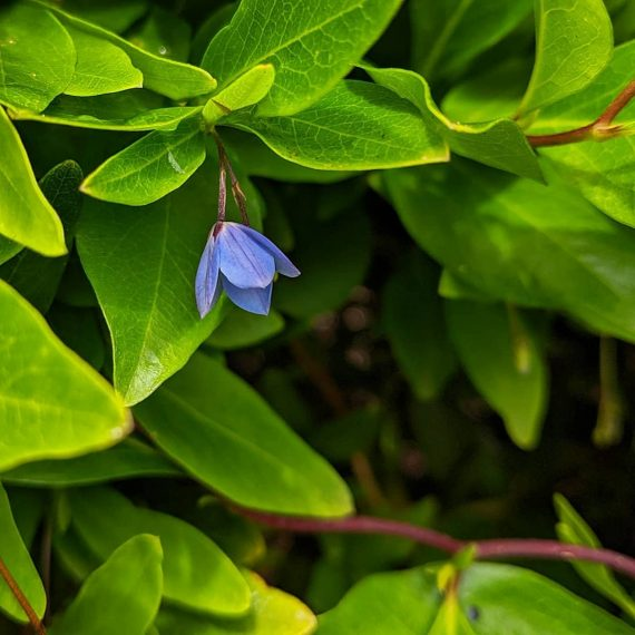 Bluebell Creeper (<em>Billardiera fusiformis</em>)