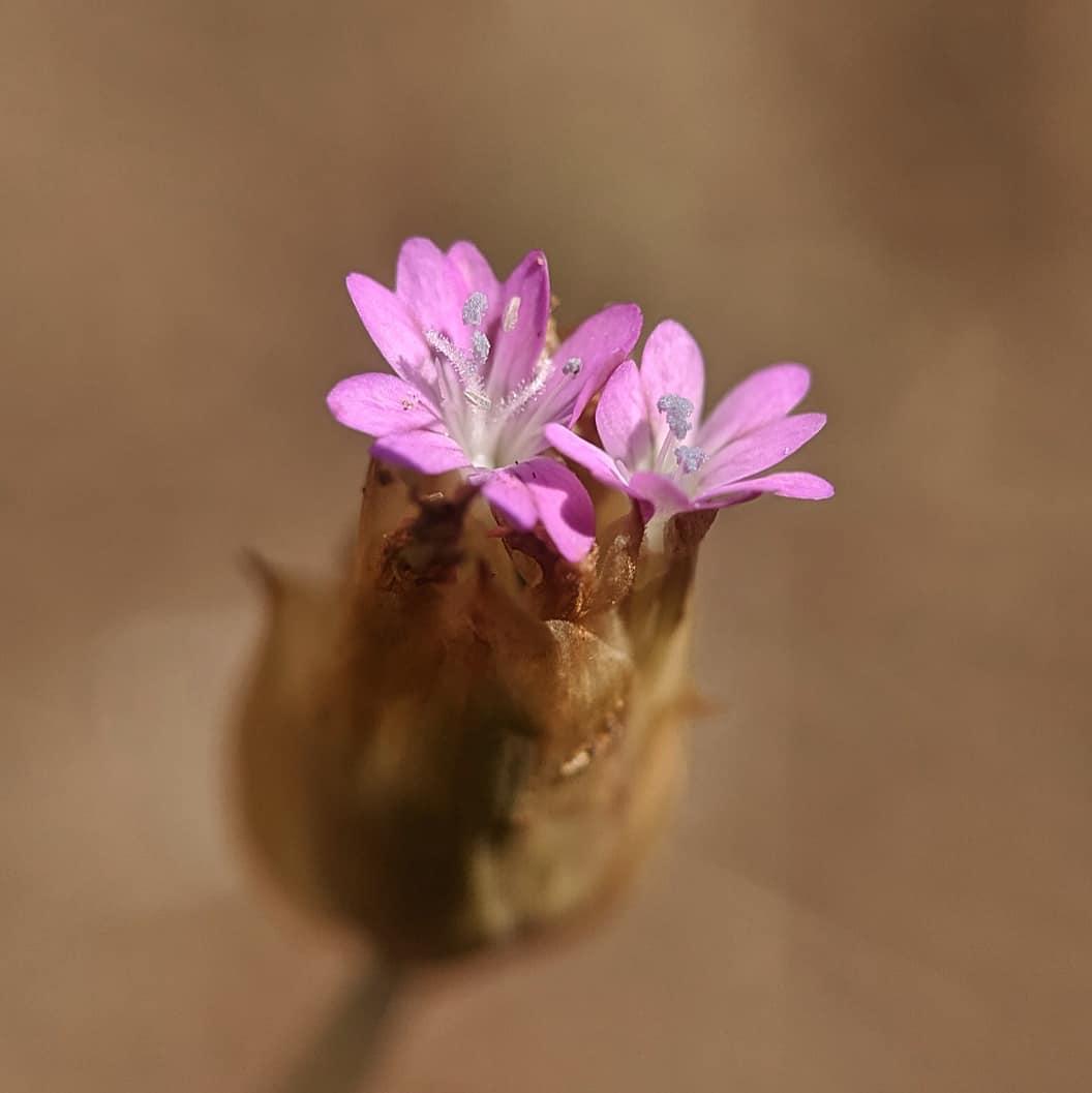 Hairy Pink (<em>Petrorhagia dubia</em>)
