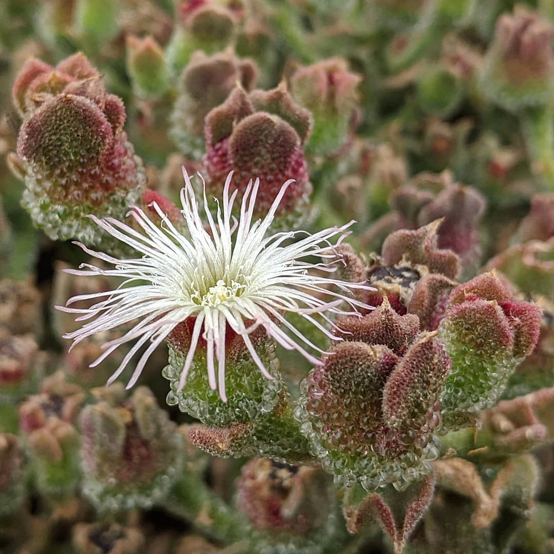Common Ice-plant (<em>Mesembryanthemum crystallinum</em>)