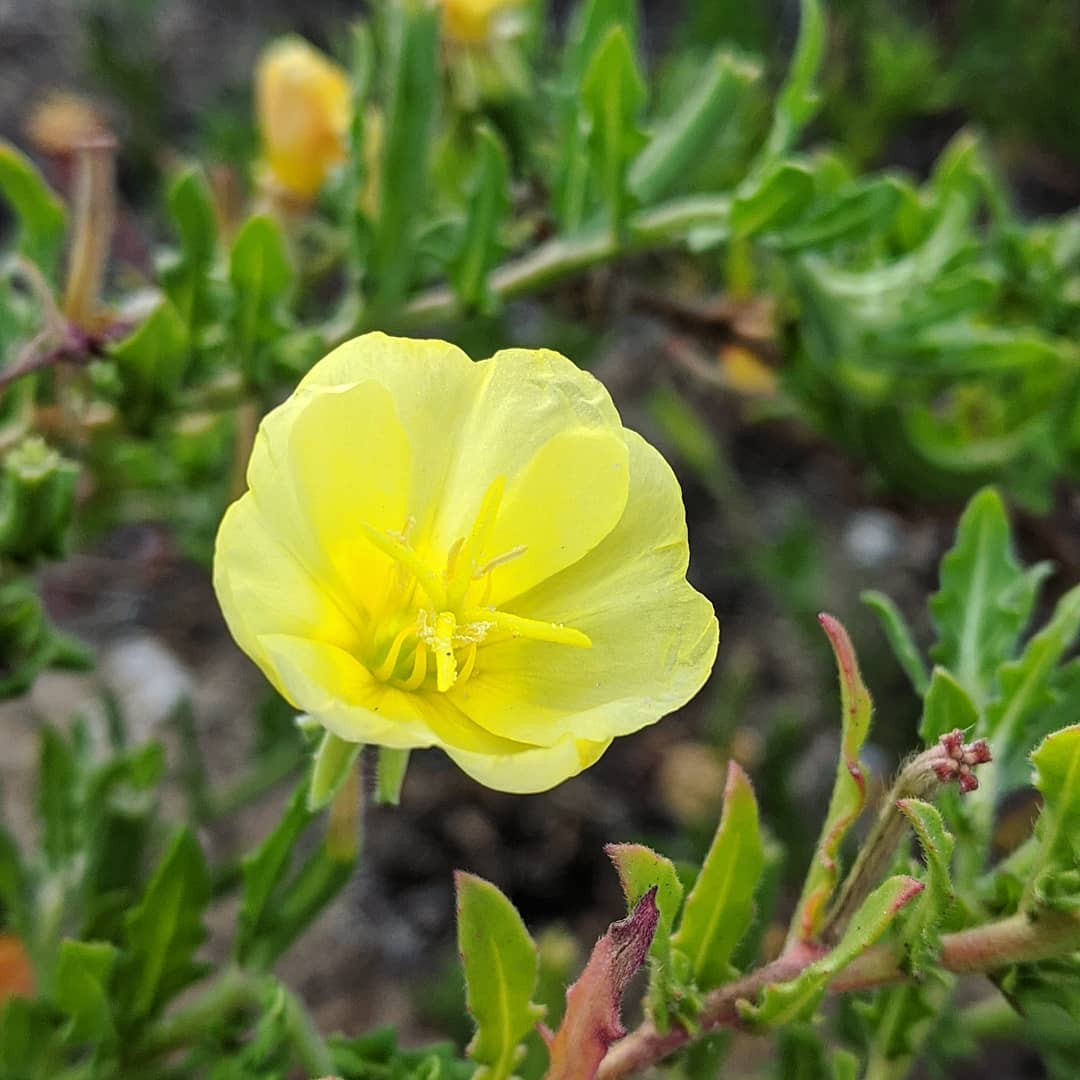 Cut-leaved Evening Primrose (<em>Oenothera laciniata</em>)