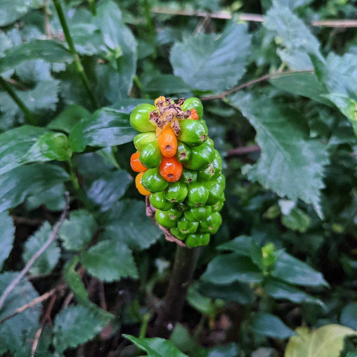 Italian Arum Lily (<em>Arum italicum</em>)
