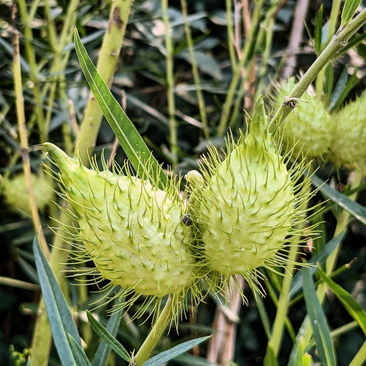 Narrow-leaved Cotton Bush (<em>Gomphocarpus fruticosus</em>)