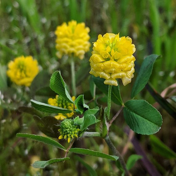 Hop Clover (<em>Trifolium campestre</em>)