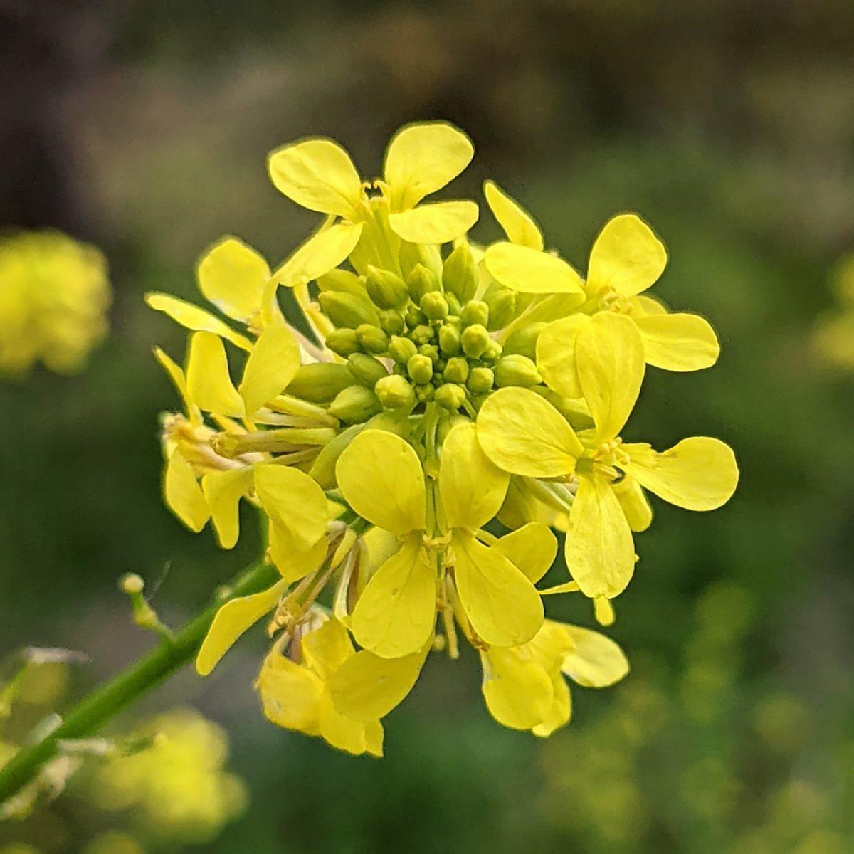 Giant Mustard (<em>Rapistrum rugosum</em>)