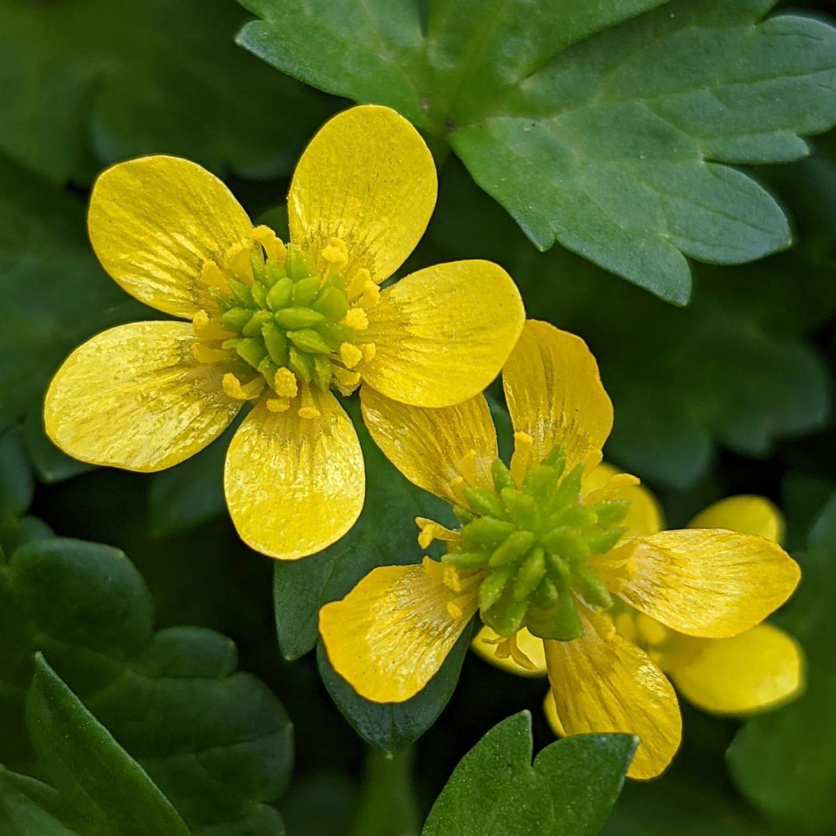 Sharp Buttercup (<em>Ranunculus muricatus</em>)