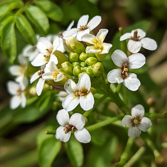 Watercress (<em>Nasturtium officinale</em>)